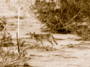 Cayote Prowling