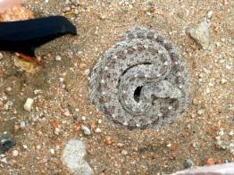 hornback rattler